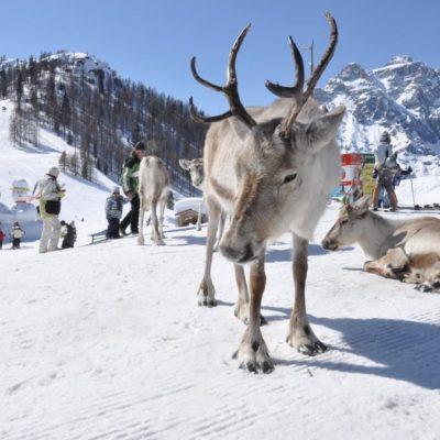 1.4 Sextner Dolomiten—alta Pusteria Rentiere 2